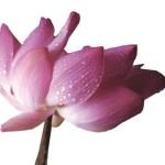 LotusPinksm
